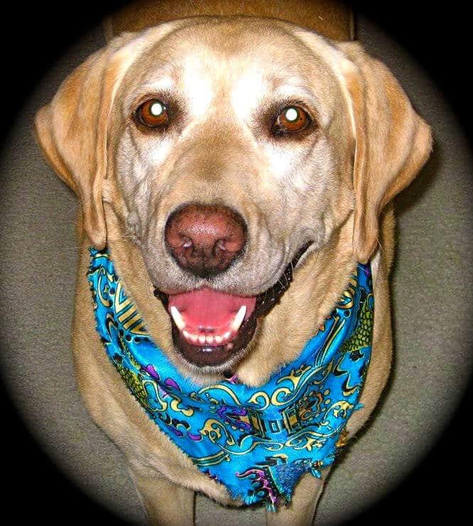 Rosie-Yellow-Labrador
