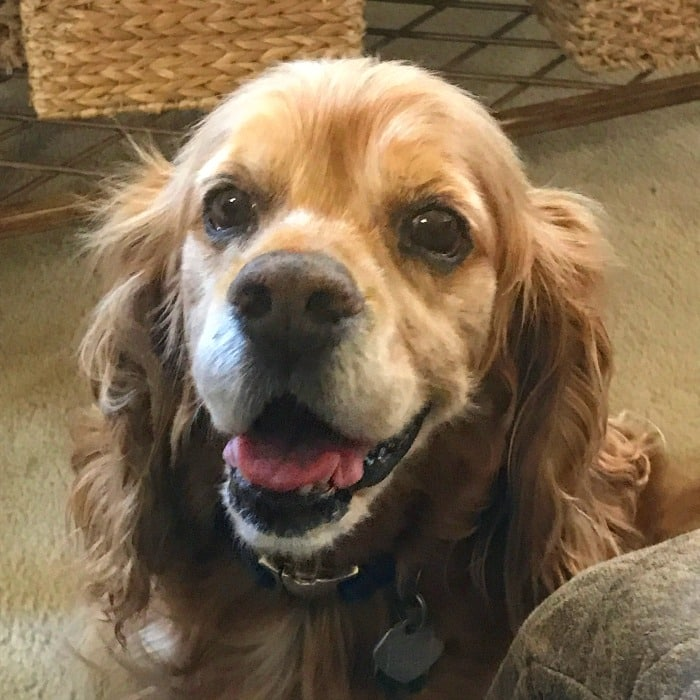 Face of red cocker spaniel.